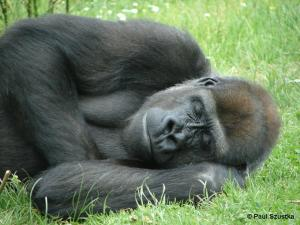 sleeping gorilla + copyright